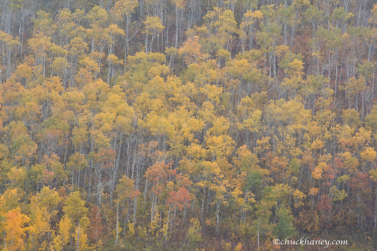 Aspen grove during snow squall in peak fall color in Glacier National Park in Montana