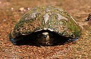 A Sonoran Mud Turtle, (Kinosternon sonoriense sonoriense), an endangered species, sits in a stream in Gardner Canyon, along the Arizona Trail, Santa Rita Mountains, Coronado National Forest, Sonoran Desert, near Sonoita, Arizona, USA.