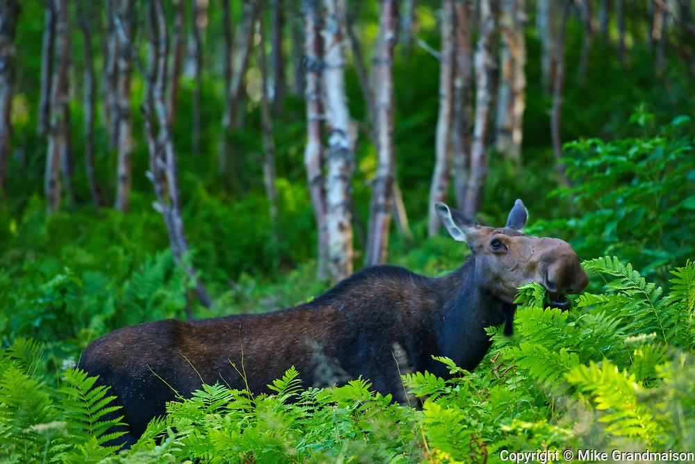 Moose (Alces alces) in the boreal forest. This is a provincial park and not a true Canadian national park.<br />Parc national de la Gaspésie<br />Quebec<br />Canada