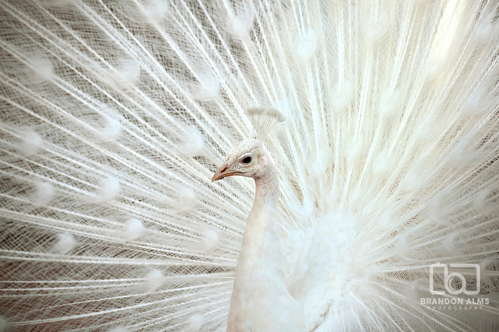 A close up shot of a white peacock with its feathers opened up.