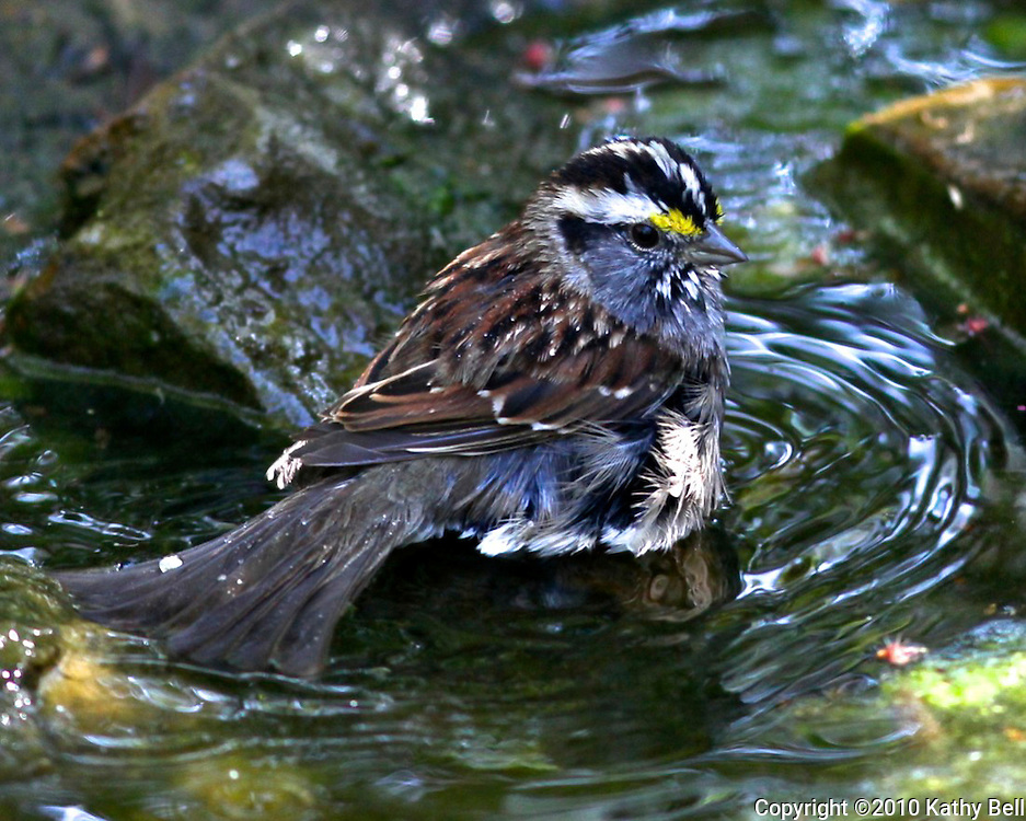 Image of a white throated sparrow