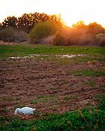 Goose looking for food at sunset - Riparian Preserve, Gilbert, AZ