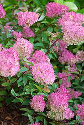 Hydrangea paniculata Vanille Fraise = 'Renhy' - showing autumn colouring