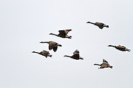 A flock of Canada Geese (Branta canadensis) take flight near the Harrison River in British Columbia, Canada