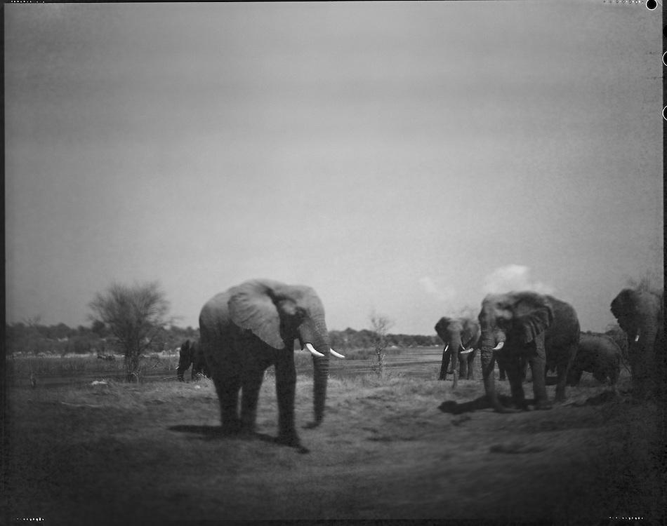 Africa, Botswana, Makgadikgadi Pans National Park, Blurred black and white image of Elephants gathered along Botete River near Kumaga