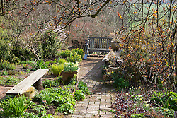 Spring at Glebe Cottage. Brick path, wooden bench, Narcissus 'W.P. Milner' in pots and borders