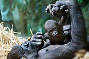 28.Sep.2012; Zurich; Inland - Zoo Zuerich; <br /> Gorilla Junges (Andy Mueller/freshfocus)
