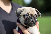 Local dogs in London - this is Mischka the pug puppy