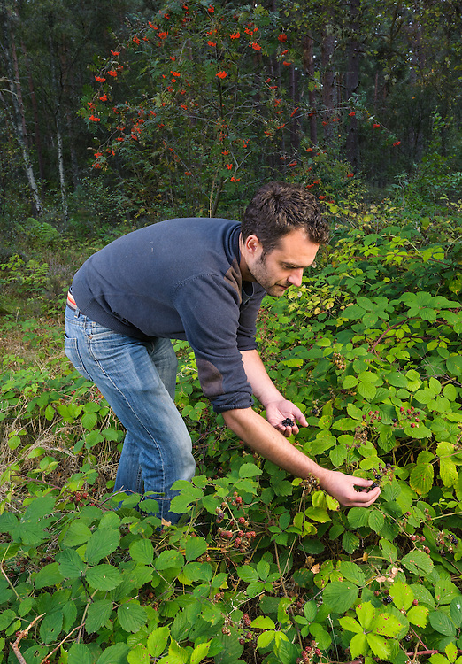 Gathering brambles, Culbin, Aberdeenshire and Moray Forest District, Forestry Commission Scotland