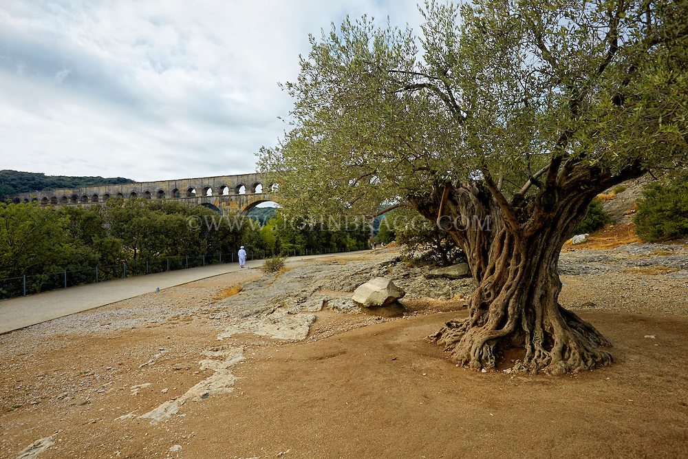 View of Pont du Gard (Roman Aqueduct) and rare 1000 year old olive tree, Vers-Pont-du-Gard, France.