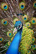 A close up shot of a peacock (Pavo cristatus) with its feathers opened up.