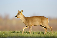 Western Roe Deer (Capreolus capreolus) female in wheat field South Norfolk, UK. February