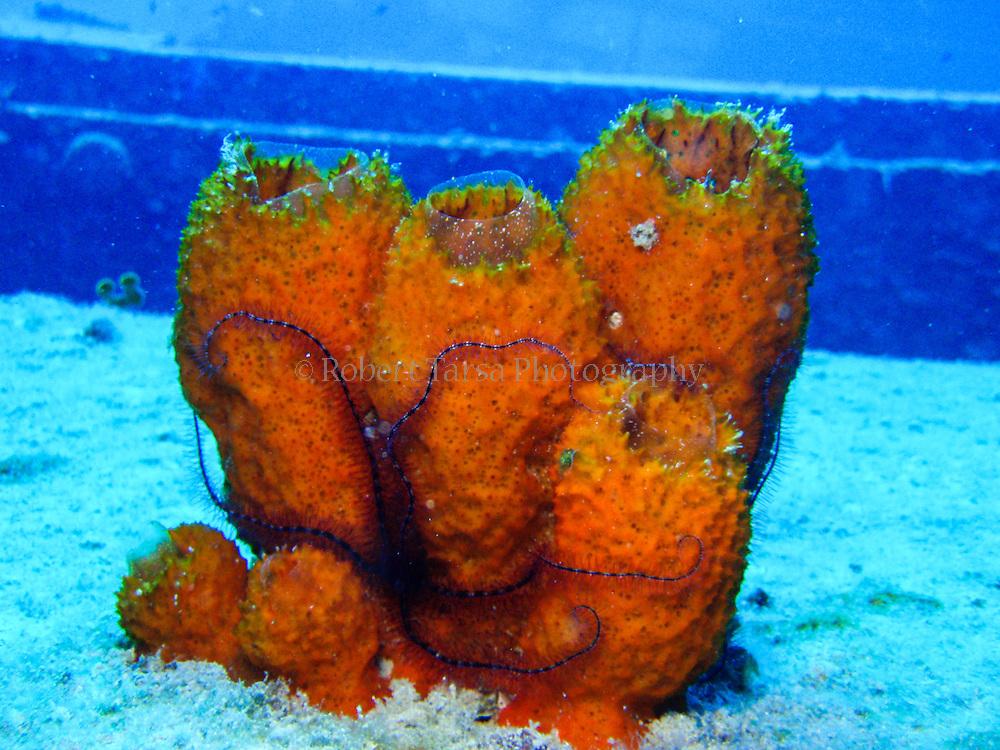 Juvenile sponge brittle star on an orange tube sponge