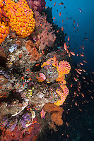 Cup Corals and Anthias..Shot In Indonesia