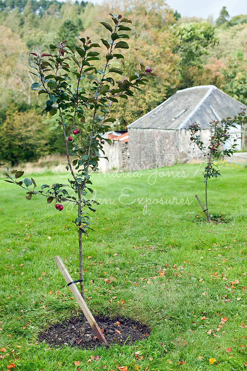 Two newly planted young Crabapple 'Harry Baker' (Malus 'Harry Baker') trees with stakes and tyes
