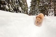 Doodle puppy running through the snow