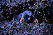 Townsend's mole (Scapanus townsendii) in a subterranean tunnel. Captive