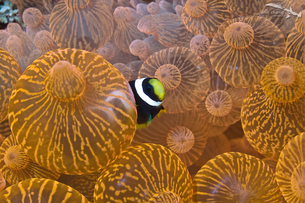 Juvenile clark's anemonefish (Amphiprion clarkii) in a bulb-tentacle sea anemone (Entacmaea quadricolor). Alor Kecil, Indonesia.