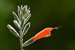 Salvia tubiflora ( used to be Salvia oppositiflora )