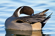 A northern pintail preens as it floats through the water