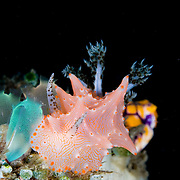 Halgerda batangas nudibranch in Lembeh Straits, Indonesia.
