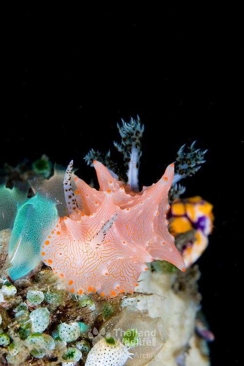 Halgerda batangas nudibranch in Lembeh Straits, Indonesia.