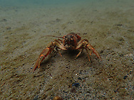 Signal Crayfish<br />