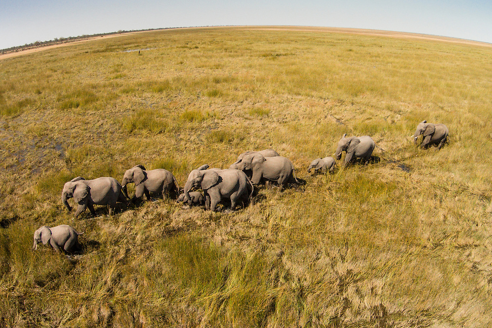 Africa, Botswana, Chobe National Park, Aerial view of Elephants (Loxodonta africana) walking Savuti Marsh's wetlands in Okavango Delta