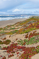 Waves pound the beach at Point Reyes Beach North, showing iceplant succulents growing on sand above tideline,  Point Reyes National Seashore, California, USA (Iceplant is an invasive non-native species from S. Africa)