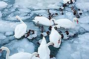 Canvasbacks, Aythya valisineria, Mute Swans, Cygnus olor, Detroit River, Ontario