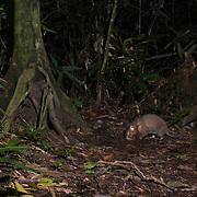 Hoary bamboo rat (Rhizomys pruinosus) caught on a camera trap in Keang Krachan National Park, Thailand.