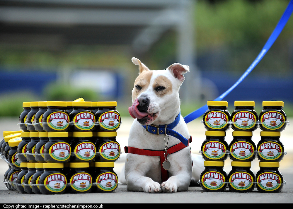 """© under license to London News Pictures. LONDON, UK  06/05/2011.Cleo, licking her lips, guards the 100 pots Dogs Enjoying Marmite at Battersea Dogs and Cats Home today (06 May 2011). 100 Jars were delivered to the home as part of a prize. You either love it or hate it, but at Battersea, marmite is causing quite a stir amongst the dogs. Jars of the yeast extract, which has polarised the nation into lovers and haters, are polished off in no time by Battersea's canine residents who have developed quite a taste for the spread. Today 100 of the famous yellow topped glass jars will cause tails to wag in the kennels when they are delivered to the Home. The year's supply of Marmite is a rather unusual, but very welcome prize to Battersea Chief Executive Claire Horton who will be presented with one of the first ever Dogs Today Endal Awards for Services to Animals. Claire Horton who requested the prize for the dogs, in favour of the usual dog food awarded,  commented: """"Battersea dogs definitely 'love it' when it comes to Marmite. We like to provide our dogs with lots of different activities throughout the week to try and help them cope better in a kennel environment. One of the dogs' favourites is licking Marmite from chew toys - it keeps them entertained for hours."""" Claire will be presented with her Endal Award by Marmite Brand Manager David Titman at the 2011 London Pet Show, taking place at Kensington Olympia, tomorrow, Saturday 7th May.Photo credit should read Stephen Simpson/LNP."""