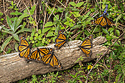 Monarch Butterflies warm in the sun at the El Capulin Monarch Butterfly Biosphere Reserve in Macheros, Mexico. Each year millions of Monarch butterflies mass migrate from the U.S. and Canada to the Oyamel fir forests in central Mexico.