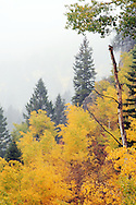 Golden Aspen glow on a foggy day at South Teton Creek in Alta Wyoming