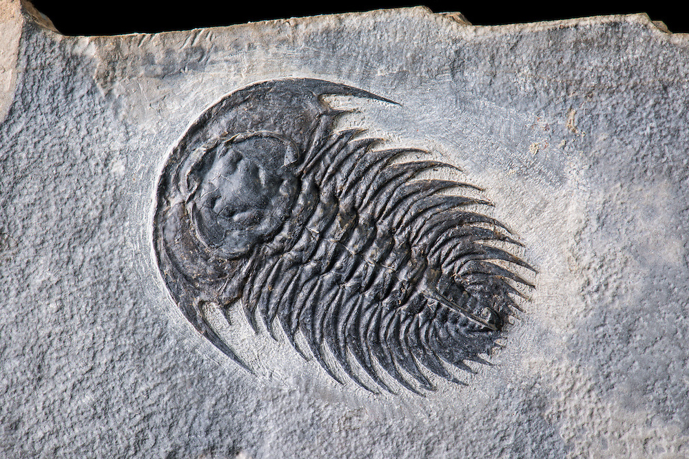 Zacanthoides idahoensis (sagittal length: 42mm) is an exceptional and very rare corynexochid from the Middle Cambrian Spence Formation of Utah.