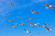 Flying seagulls against blue sky.
