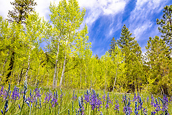 """""""Camas and Aspens 1"""" - Photograph of camas wildflowers and aspen in the spring time. Shot at """"The Shack"""" near the top of Hwy 267, in between Truckee and Lake Tahoe."""