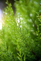 Gotas de orvalho em folhas do pinheiro ao amanhecer. FOTO: Jefferson Bernardes/Preview.com
