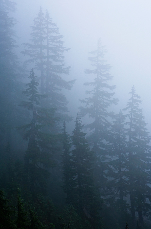Trees in the fog near Snoqualmie Pass, Washington, USA.