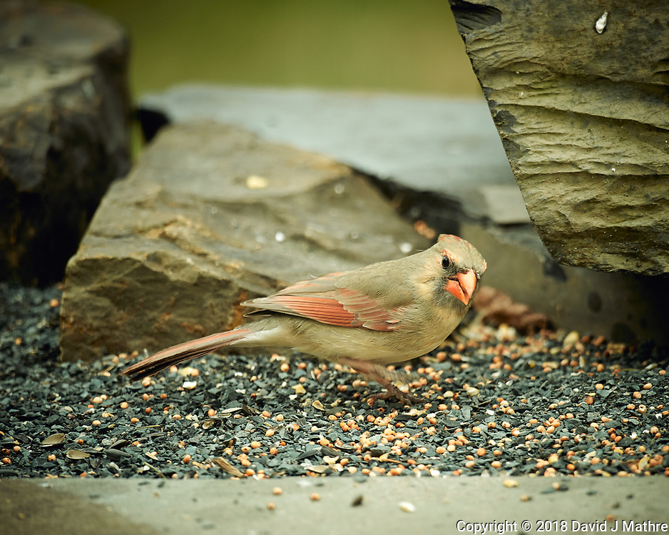Female Northern Cardinal. Image taken with a Nikon D4 camera and 600 mm f/4 VR lens (ISO 360, 600 mm, f/4, 1/200 sec).