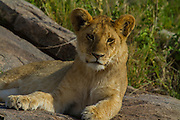 Lion cub, part of a pride, Serengeti National Park, Tanzania.
