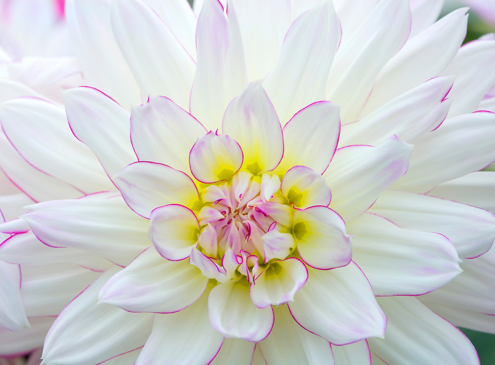 Macro portrait of a white and pink Dahlia with backlighting.