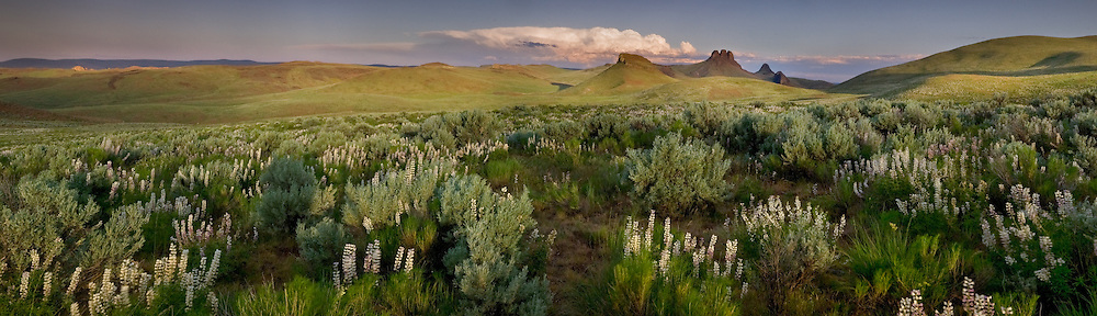 Lupine bloom in the rolling hill near 3 fingers gulch, Owyhee Desert.