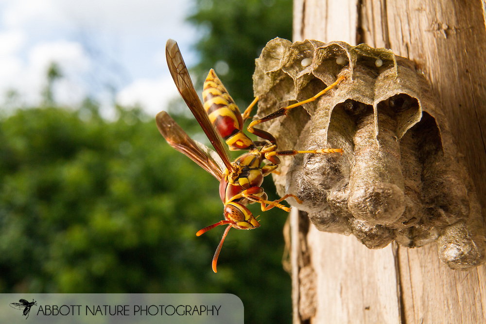 Paper Wasp (Polistes exclamans) on nest<br /> TEXAS: Travis Co.<br /> Hornsby Bend; Austin<br /> 3-May-2015<br /> J.C. Abbott &amp; K.K. Abbott