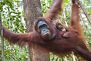 Bornean Orangutan <br /> Pongo pygmaeus<br /> Mother and one-year-old baby<br /> Tanjung Puting National Park, Indonesia