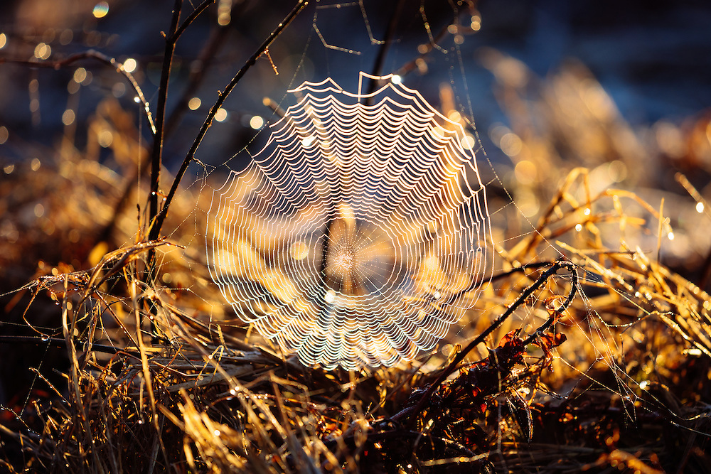 Early morning dew collected on a spiders web, backlit from the rising sun. Lake Broadwater Conservation Park.