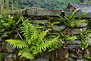 Ferns growing in wall. Borrowdale valley in Lake District National Park, United Kingdom, Europe. England Coast to Coast hike with Wilderness Travel, day 3 of 14: from Wasdale Head to Seathwaite. From Wasdale Head, we climbed to 1637-foot Styhead Pass, then descended via Styhead Tarn to the valley of Borrowdale. Overnight at Keswick Country House, in Cumbria county. [This image, commissioned by Wilderness Travel, is not available to any other agency providing group travel in the UK, but may otherwise be licensable from Tom Dempsey – please inquire at PhotoSeek.com.]