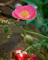 Pink Poppy.  Image taken with a Nikon D810a camera and 105 mm f/1.4 lens