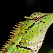 Emma Gray's forest lizard (Calotes emma), also known as the forest crested lizard, is an agamid lizard found in Asia. Kaeng Krachan National Park, Thailand.