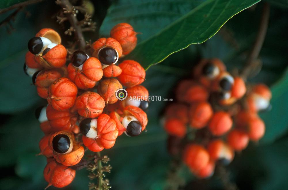 Plantacao de guarana.O Guarana (Paullinia cupana) e originario da Amazonia, encontrado no Brasil e Venezuela. Descoberto no sec. XVIII pelo medico botanico alemao F. C. Paullini. Sua fruta possui uma substancia parecida com a cafeina (guaraina) e devido a essa propriedade estimulante e usada para a fabricacao de xaropes, barras, pos e refrigerantes./ Guarana Plantation. Farm in Amazon, Brazil. Guarana is a shrub or small tree native to Venezuela and northern Brazil. The seed of the Guarana fruit is a central nervous system stimulant with thermogenic and diuretic properties. It is used as an ingredient in soft drinks and energy drinks..Foto © Marcos Issa/Argosfoto